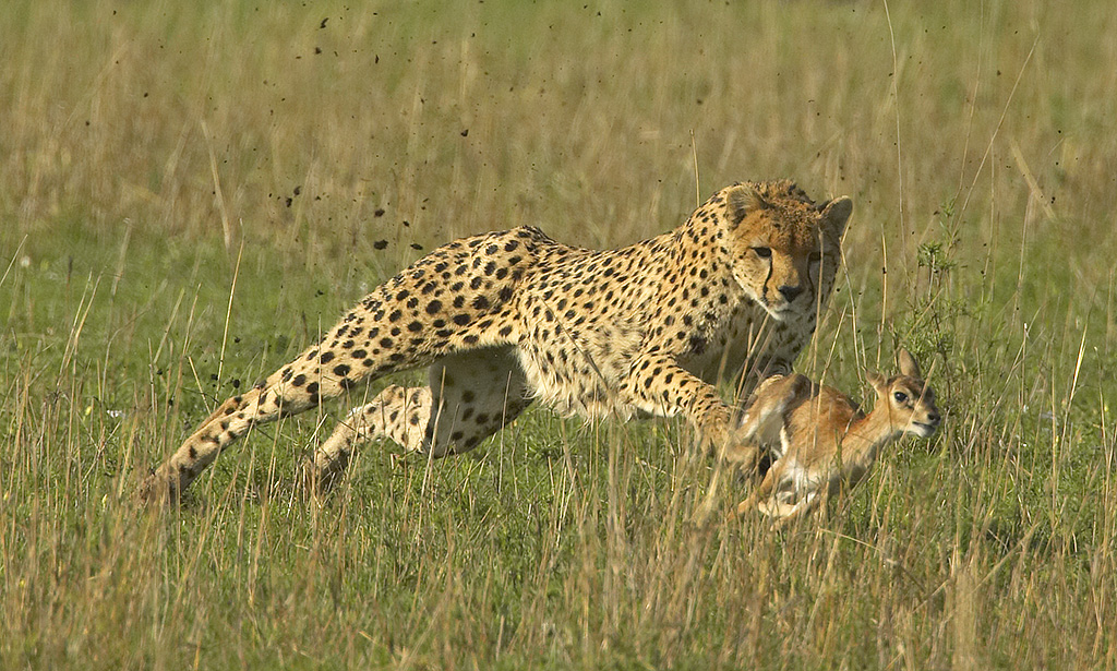 """2009 Nature Section """"Cheetah Tripping Thomson's Gazelle"""" by Graeme Guy EPSA, FAPS: Awarded SSNEP Gold Medal"""
