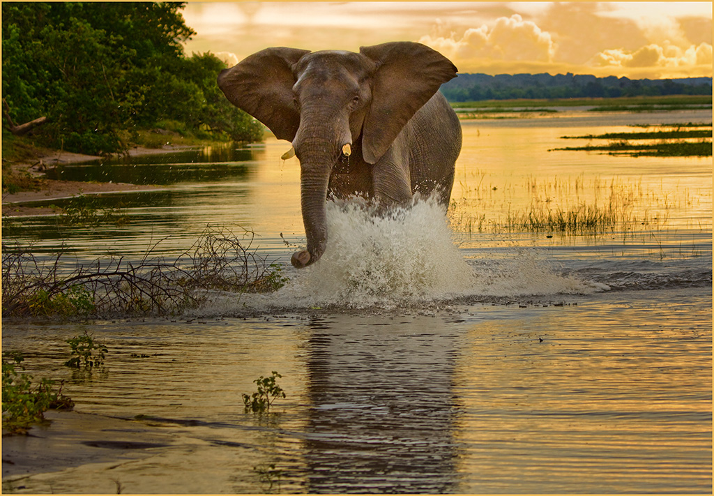 """2009 Nature Section """"Elephant Charging #3"""" by Kerry Boytell: Awarded SSNEP Silver Medal"""