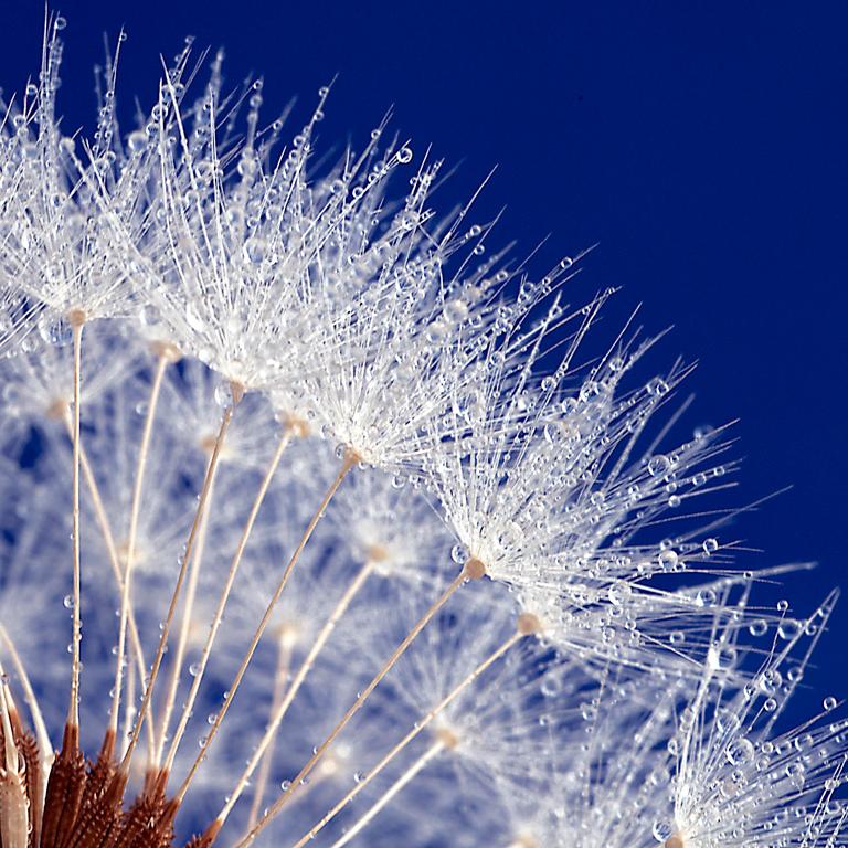 2011 Nature Section - Dandelion5 by Denise McDermott: Awarded SSNEP Silver Medal