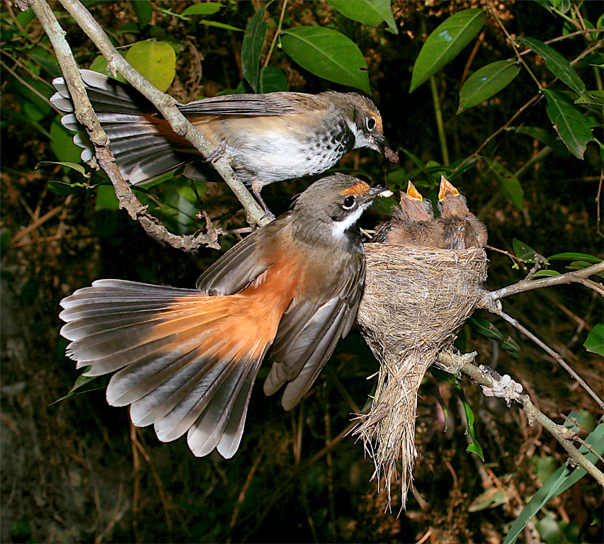 2011 Nature Section - Rufus Fantail Family_1558 by George Hardy AAPS, AFIAP: Awarded SSNEP Gold Medal