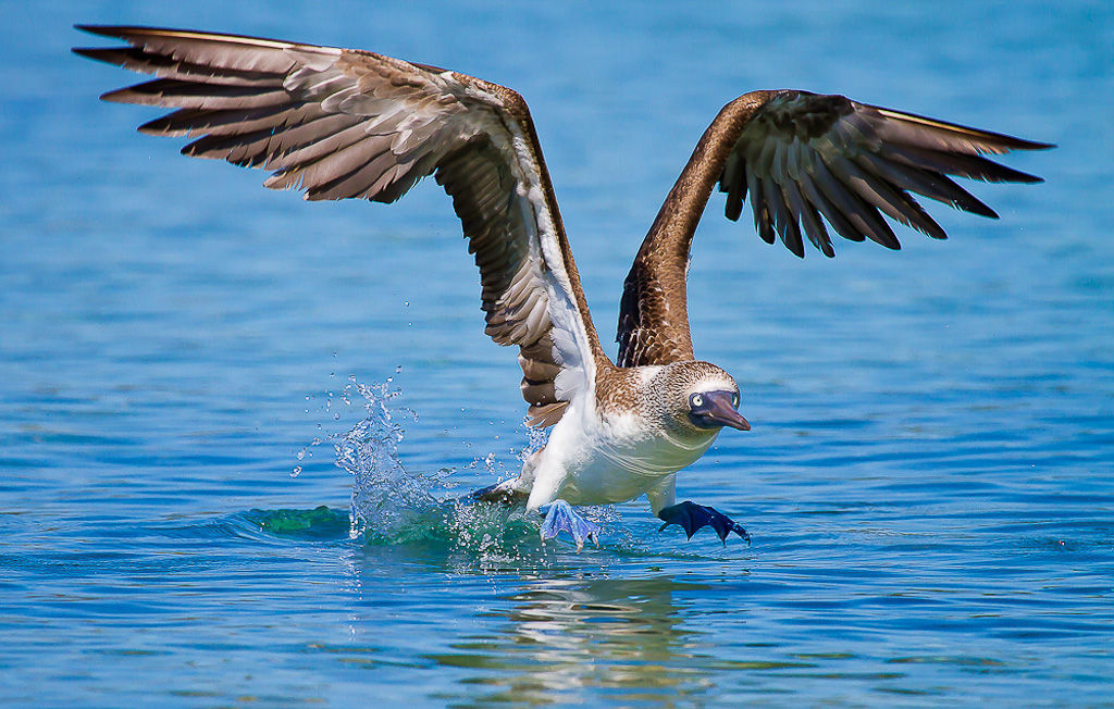 """2012 Nature Section """"Blue Footed Booby"""" by Sally Everson: Awarded SSNEP Silver Medal"""