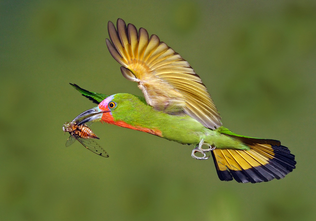 """2012 Nature Section """"Red Bearded Bee Eater"""" by  Graeme Guy EPSA, FAPS: Awarded SSNEP Gold Medal"""