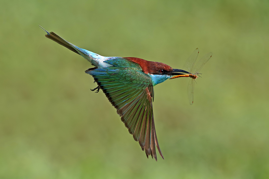 """2014 Nature Section """"Flying To The Nest"""" by Graeme Guy EPSA, FAPS: Awarded SSNEP Silver Medal"""
