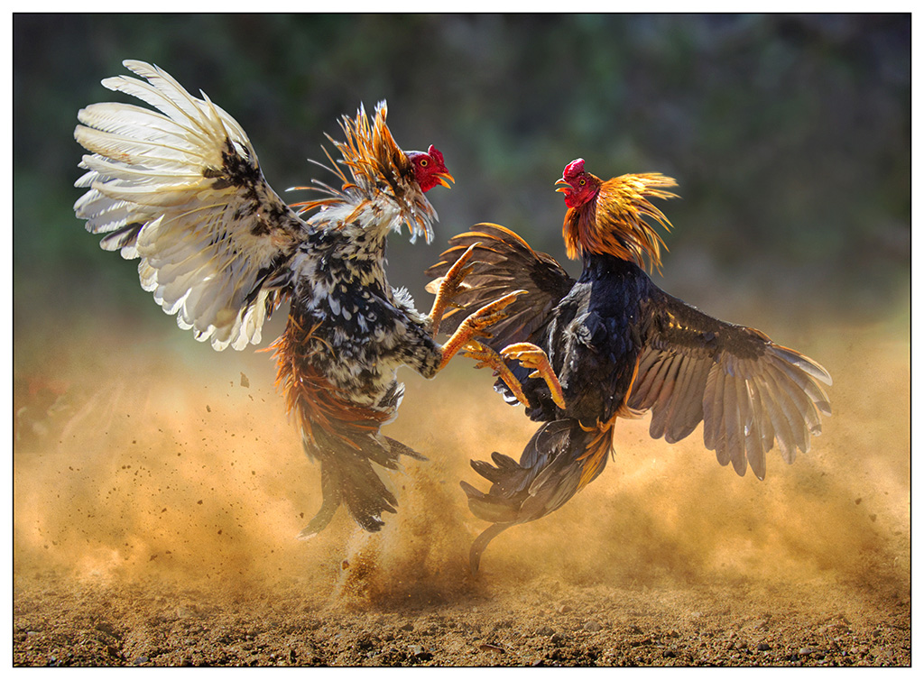 """2014 Open Colour Section """"Cock Fighting"""" by Joseph Tam EFIAP/b, EPSA, MAPS: Awarded SSNEP Silver Medal"""