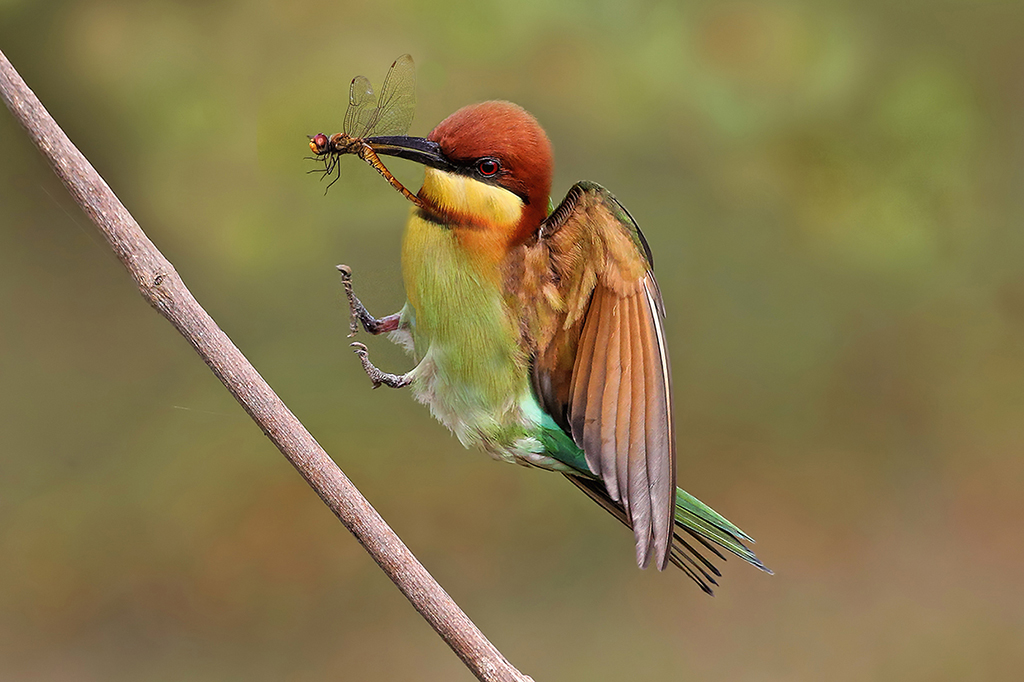 """2015 Nature Section """"Chestnut Headed Bee Eater"""" by Graeme Guy FAPS, EPSA: Awarded SSNEP Gold Medal"""