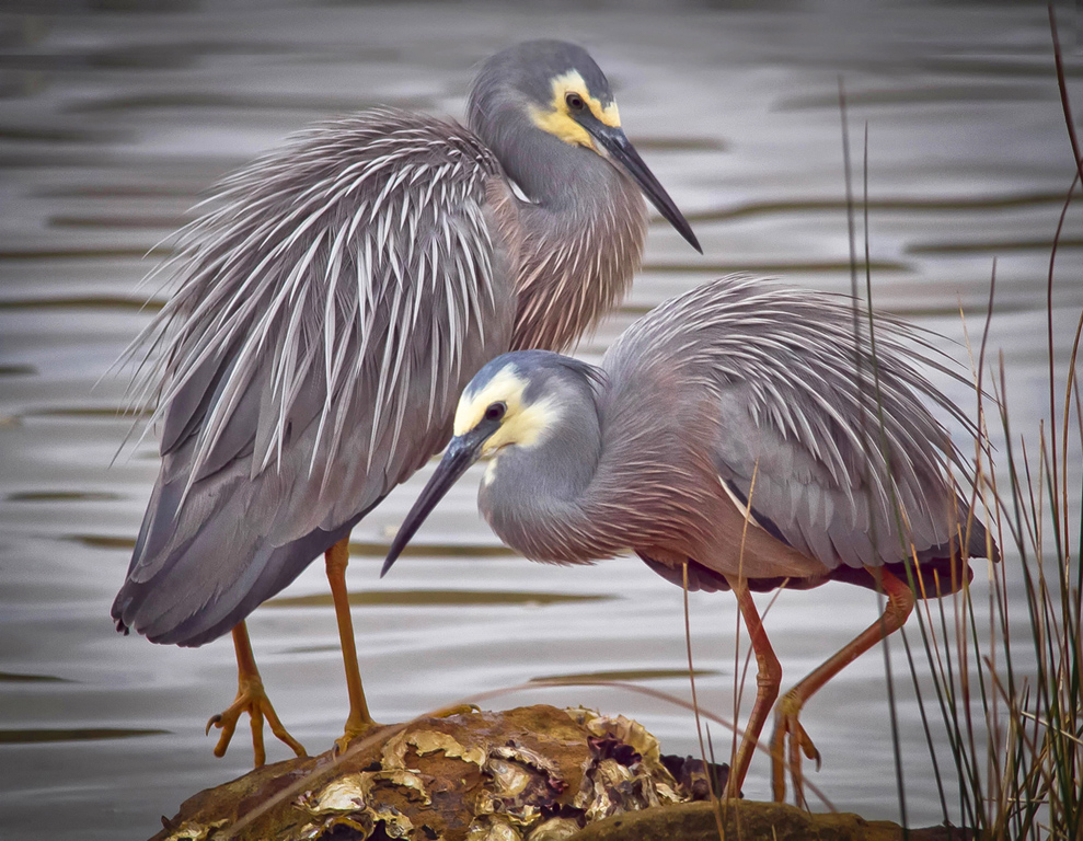 """2016 Nature Section """"White Faced Herons Mating"""" by Fiona Lambell LAPS: Awarded SSNEP Silver Medal"""