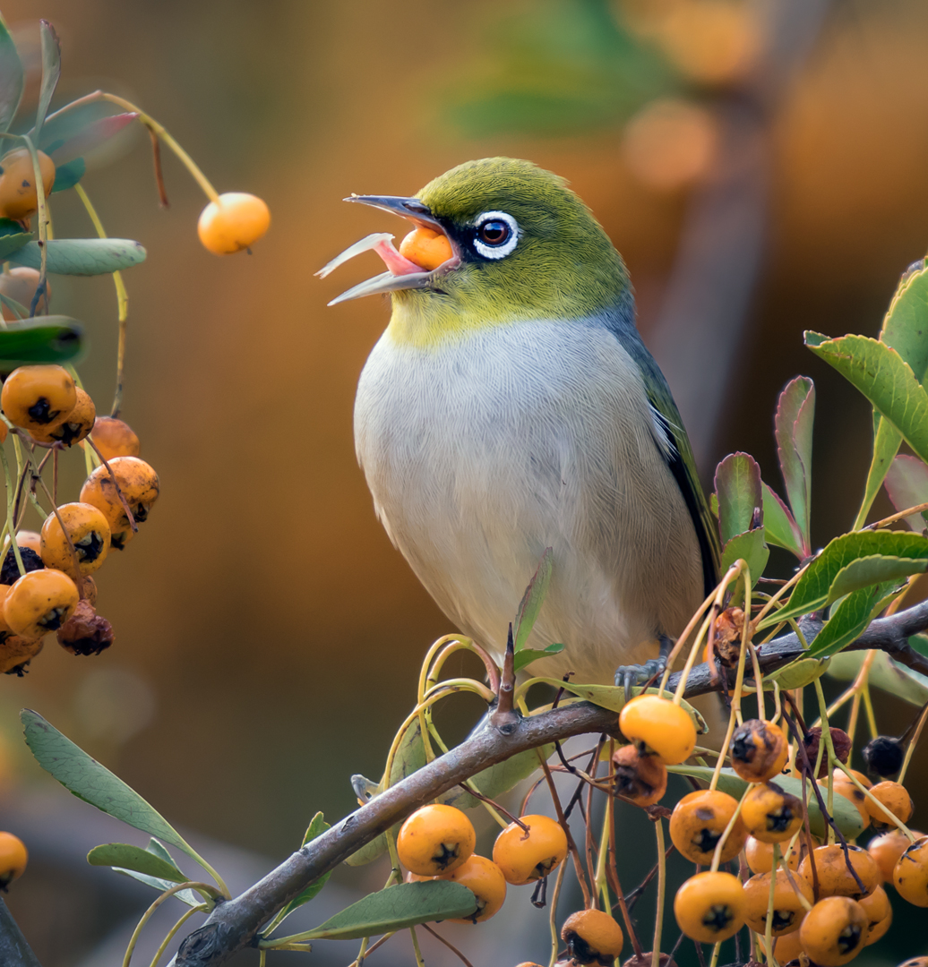 """2017 Nature Section """"Silvereye Eating Berries 4"""" by Graeme Watson EFIAP/g, MPSA, APSEM: Awarded SSNEP Gold Medal"""
