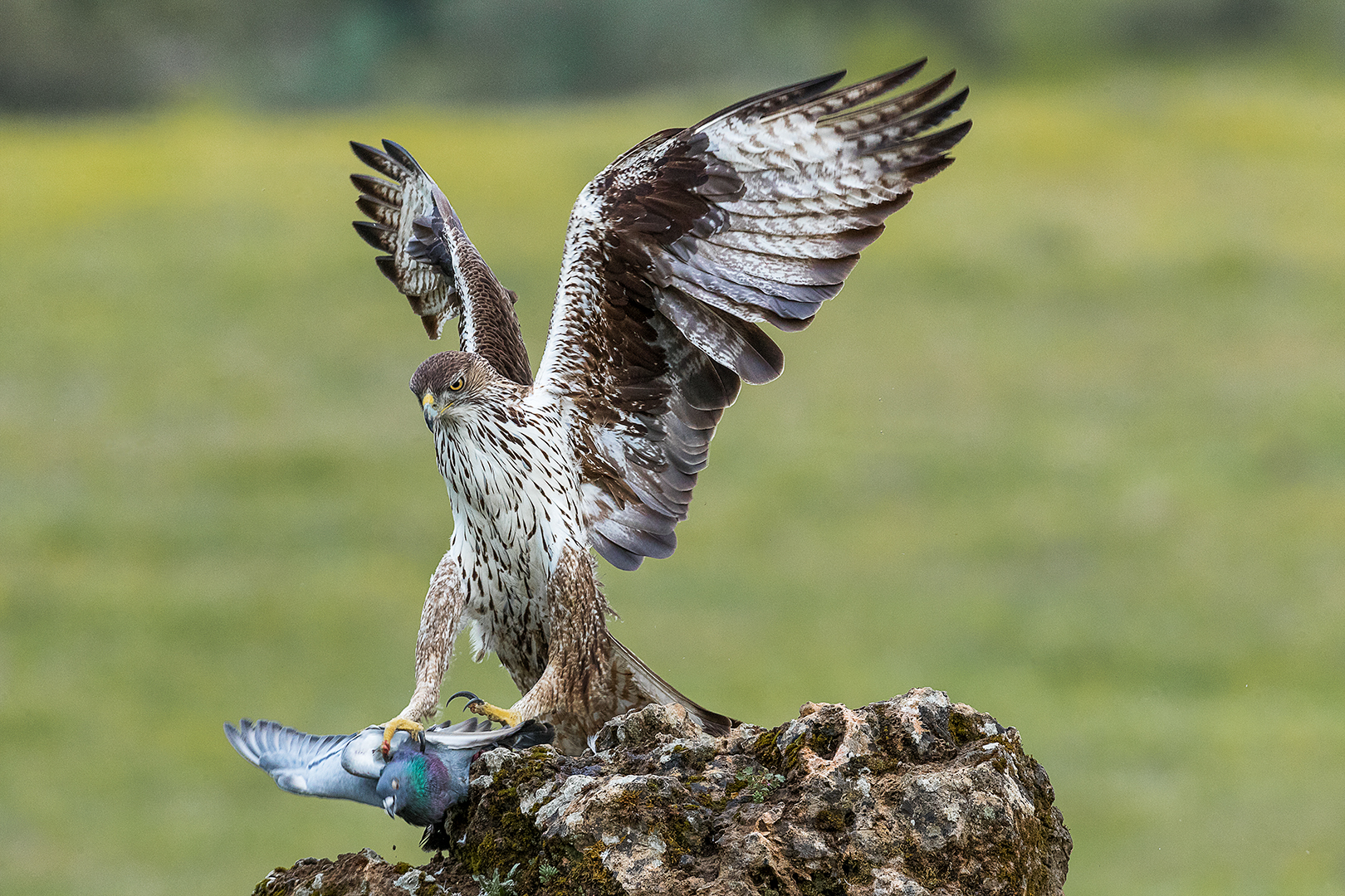 """2018 Nature Section """"Bonelli and Pigeon"""" by Kerry Boytell EFIAP/b, MAPS: Awarded APS Gold Medal"""