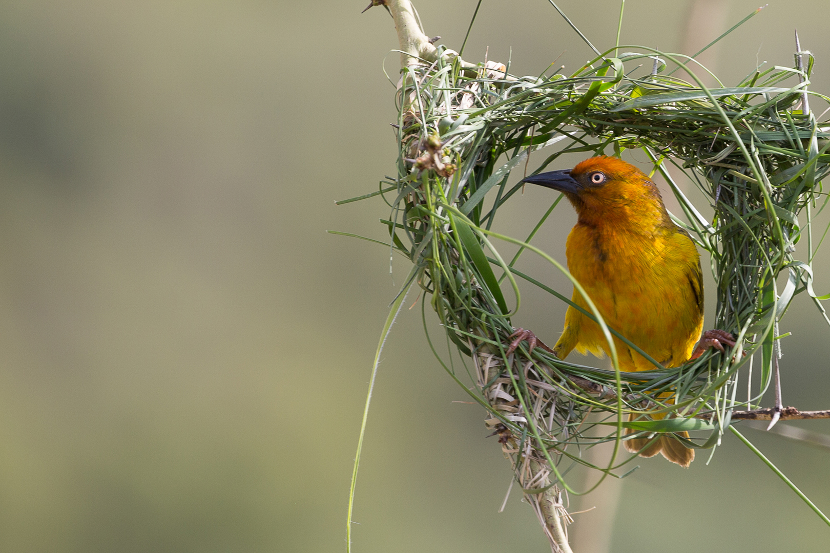 """2019 Open Colour Section """"Skilled Nest Builder"""" by Neville Ritchie: Awarded SSNEP Gold Medal"""