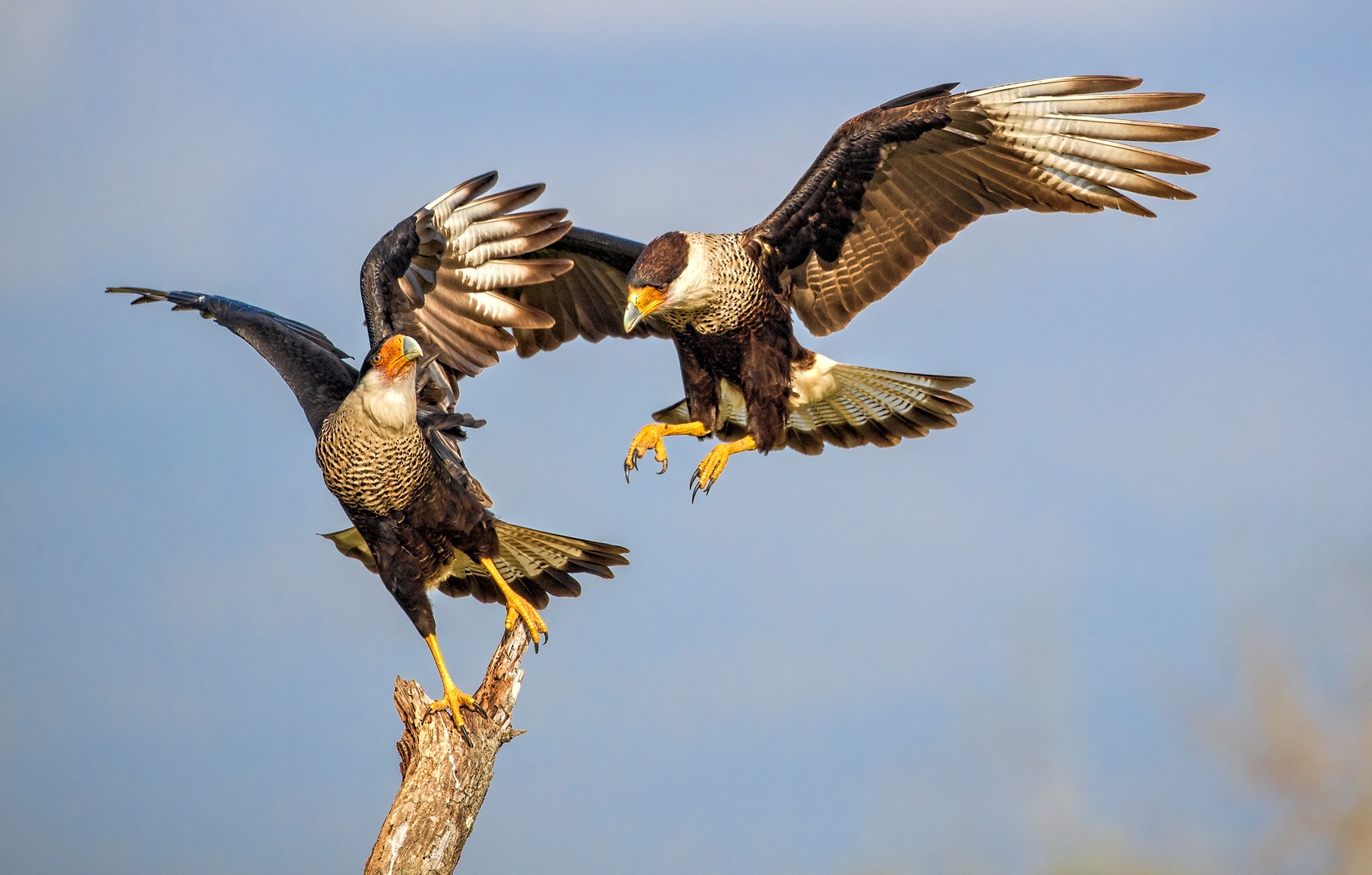 """2019 Nature Section """"Caracara Action"""" by Kerry Boytell EFIAP/b, MAPS: Awarded SSNEP Silver Medal"""