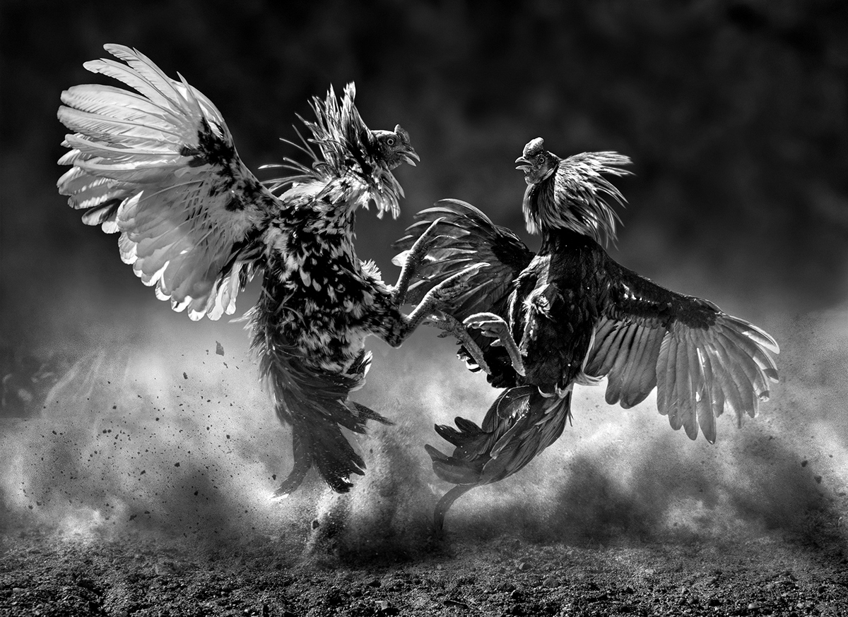 """2020 Open Monochrome Section """"Cock Fighting"""" by Joseph Tam EFIAP/d3, APSEM/b, GMPSA: Awarded APS Gold Medal"""