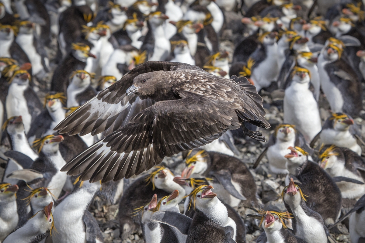 """2020 Nature Section """"Brown Skua's Lunch Run"""" by Vicki Jesty: Awarded APS Gold Medal"""