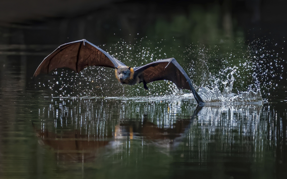 """2020 Nature Section """"Bat Dipping Wing"""" by Albert Hakvoort: Awarded SSNEP Gold Medal"""
