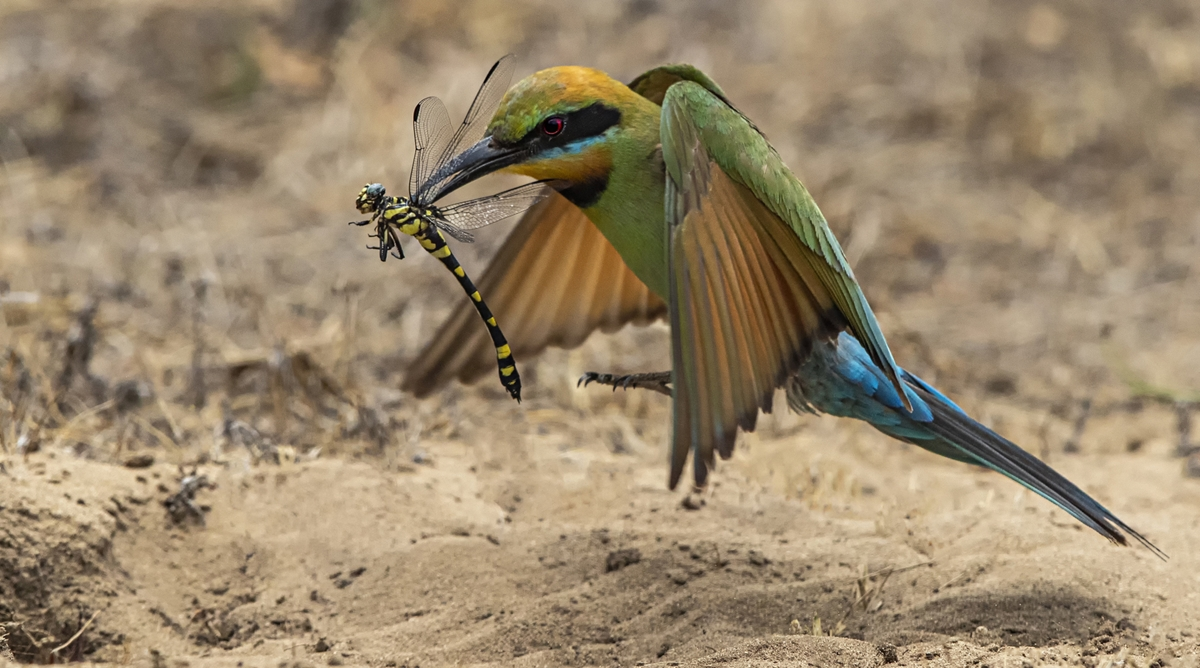 """2020 Nature Section """"Bee Eater With Dragonfly"""" by Peter Ryan: Awarded SSNEP Silver Medal"""
